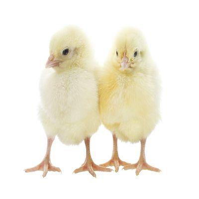 Valentine Day Old Chicks