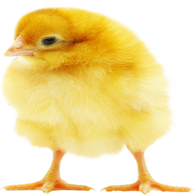 Sayed Day Old Chicks